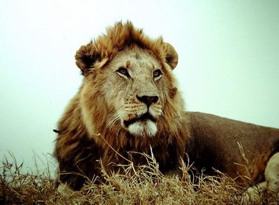 狮子喜欢的水果