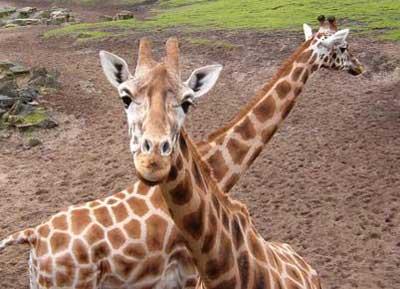 七巧板:高个子——长颈鹿