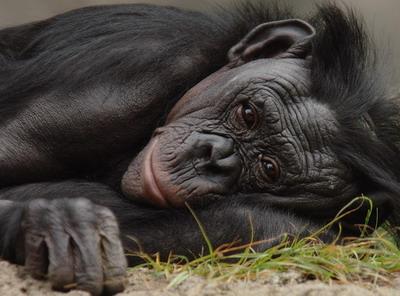 学动物过生活:黑猩猩