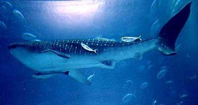 动物蓝鲸简笔画