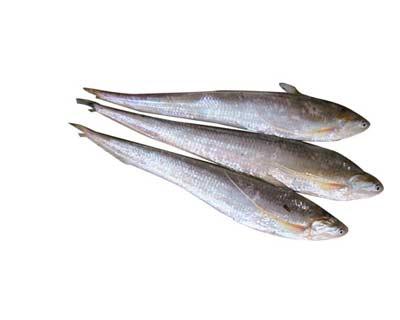 每日农经 长江刀鱼