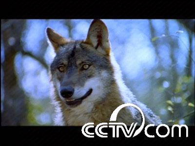 动物世界:狼图腾系列