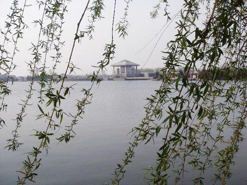 壁纸 垂柳 风景 柳树 摄影 树 桌面 500_375