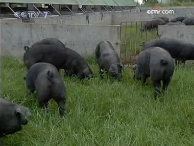 在猪场外面专门搭建猪的运动场