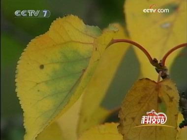 士邓志军:杏树叶子它是一