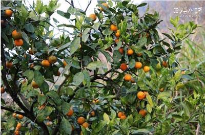 这里盛产柑橘和茶树果-好吃又好玩的舂米粿 沙县小吃