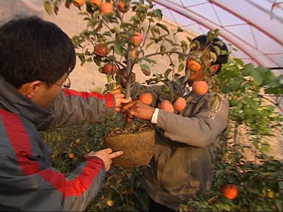 致富经:宋华兴的天价苹果树 --爱布谷--中国网络电视台