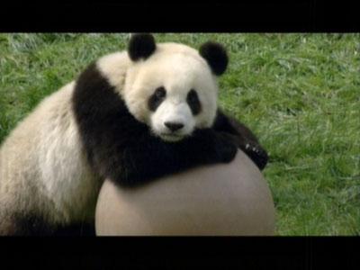 动物世界:熊猫传奇 --爱布谷--中国网络电视台