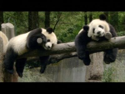 动物世界:熊猫传奇