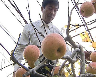 走近科学:花盆里的苹果树