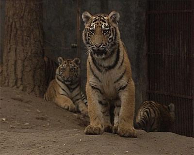 老虎上树与否究竟和它的生理结构有没有关系