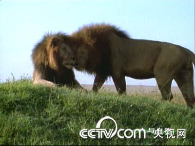 人与自然狮子兄弟/人与自然狮子全集/狮子兄弟争霸